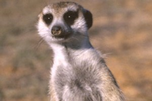 Paradise Wildlife Park Meerkats