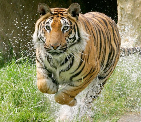 Tea with the Tigers at Paradise Wildlife Park for Two Only £118